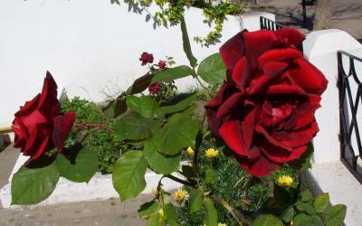 20080922031543-rosas.jpg