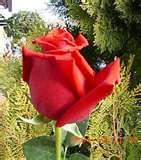 20090711164255-3086-alhambra-rosas.jpg