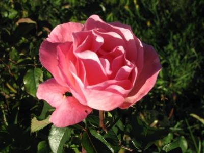 20130328171012-bariloche-rose.jpg